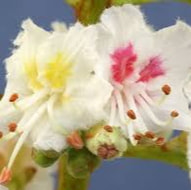 white-chestnut