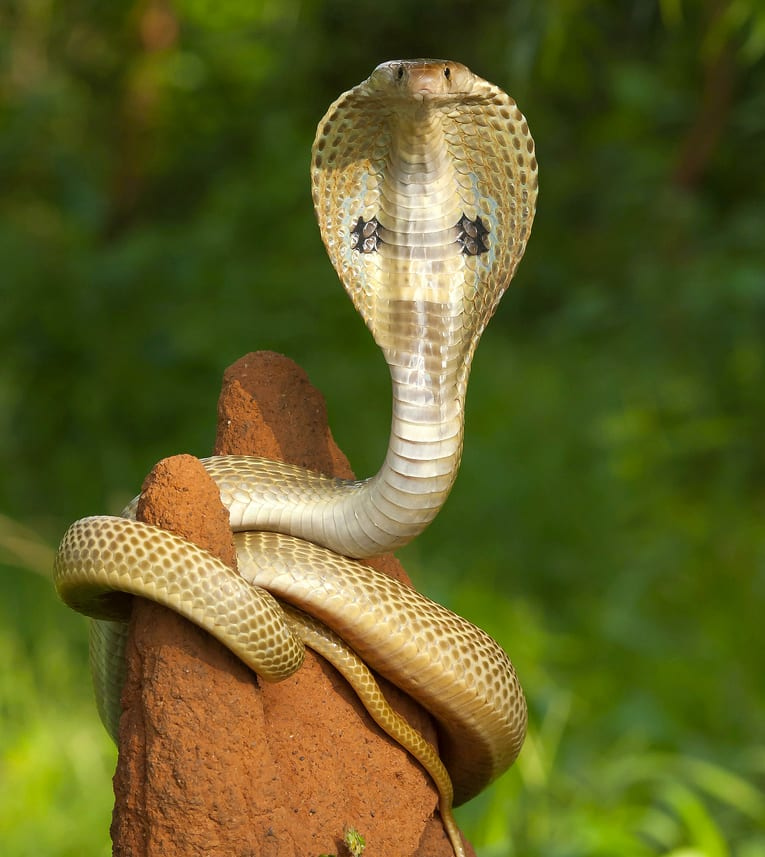 Snakes and the Nakshatra yoni animals