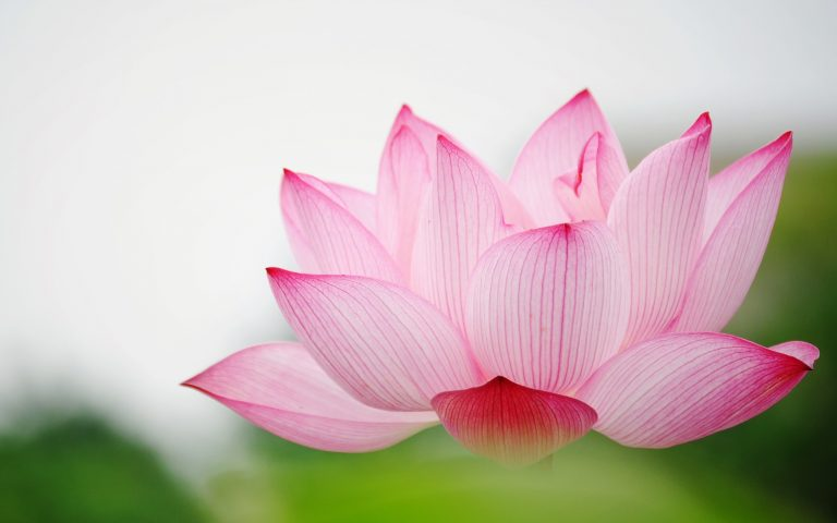 Download-Free-Lotus-Wallpapers-768x480